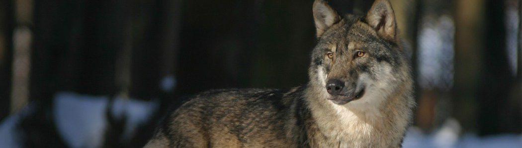 wolf-725388_1280-1050x699
